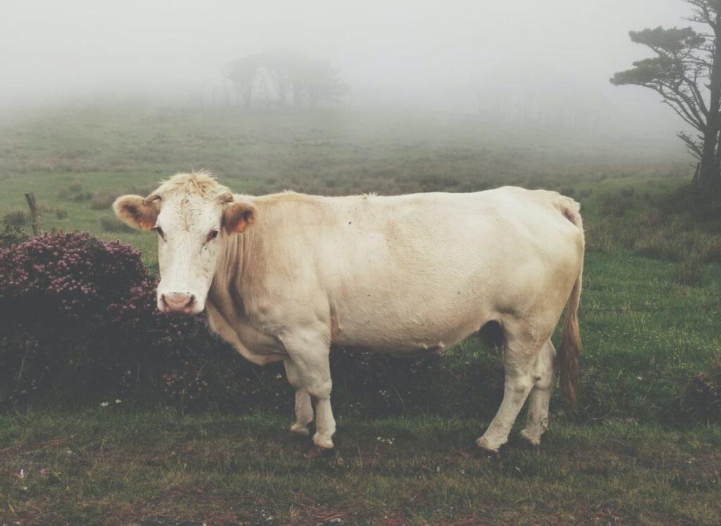 Vacas en Chernóbil
