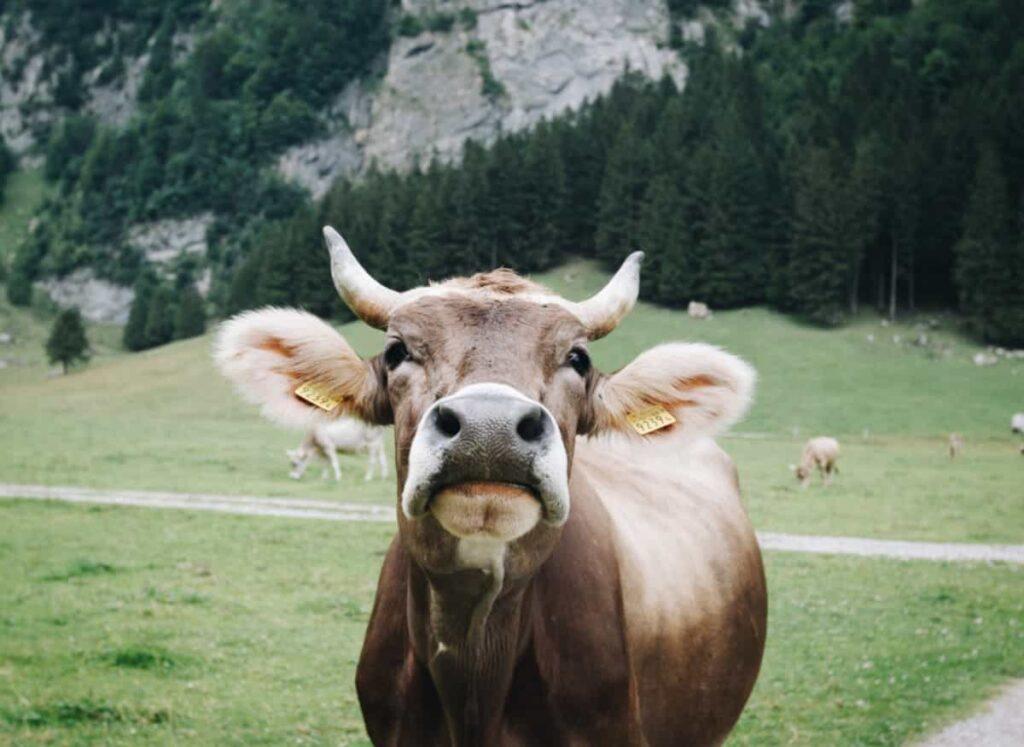 vacas rusas